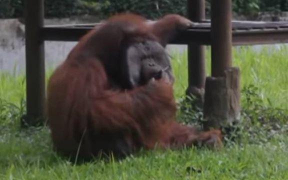 Orangutan-u-zoo-vrtu-pusio-cigretu-a-nadlezni-kazu-da-im-je-zao-VIDEO
